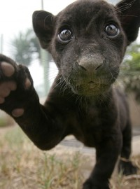 black-baby-jaguar
